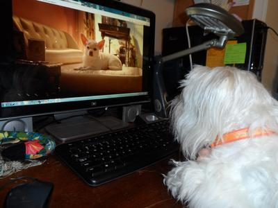 Beamer loves the Beverly Hills Chihuahuas!
