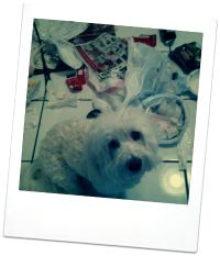 coton de tulear behavior