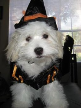 Coton de Tulear in Halloween costume