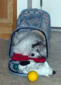 Your Coton De Tulear Stories And Photos