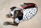 dog in dalmation costume