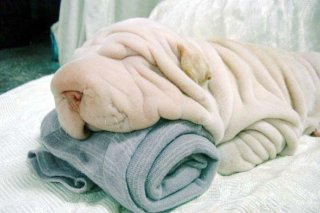 funny wrinkly dog