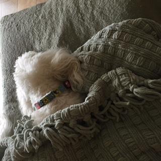 sleeping coton de tulear
