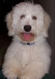 Luc Coton Dog