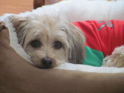 TRISCUIT IN HER SANTA PAWS OUTFIT WAITING FOR SANTA