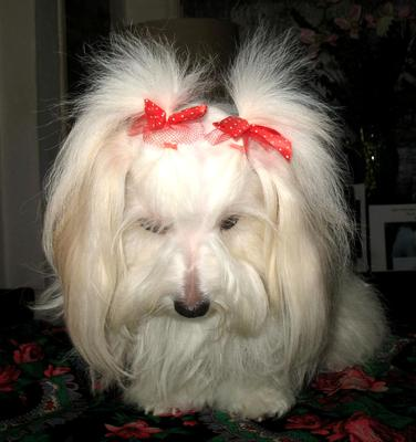 Most Beautiful Long Haired Dog In The World