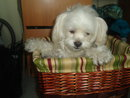 Pouchie the one year old female Coton