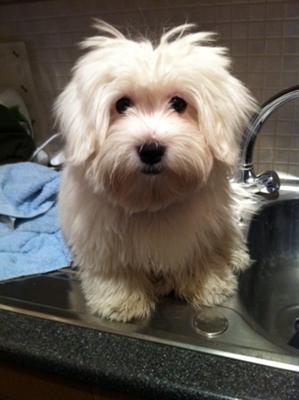Senior Dog Food >> Poppy's first puppy cut