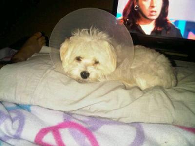 Spanky, neutered and doing fine