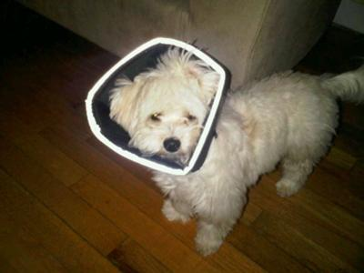 Spanky in his Comfy Cone after being Neutered