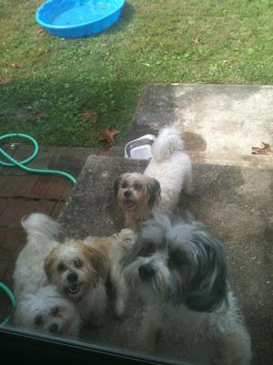 Play Date with Spanky, Gleason, Mishka and Sasha in their new yard!