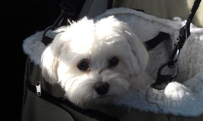 Dog park day with Spanky and Friends... in his booster seat on the way home