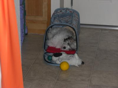 Coton de Tulear Puppy Tuffy zonked out in his cave