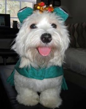 Coton de Tulear in Halloween costume