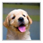 cute retreiver pup