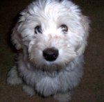cute coton puppy