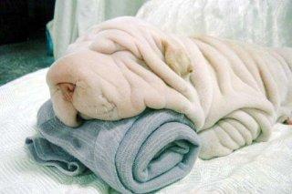funny wrinkly dog