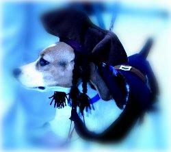 beagle dressed as pirate