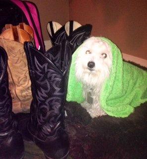 Heavy rain, thunder & lightening sent my trembing puppy  to hide behind my husband's cowboy boots🙀