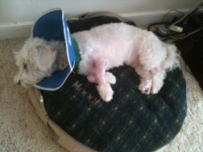 Mooch after his surgery