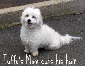 Coton de Tulear puppy cut
