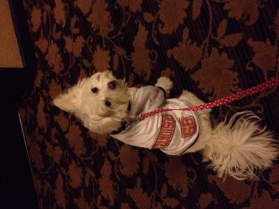 Jasper the loyal San Francisco Giants  2014 World Series championship pup!