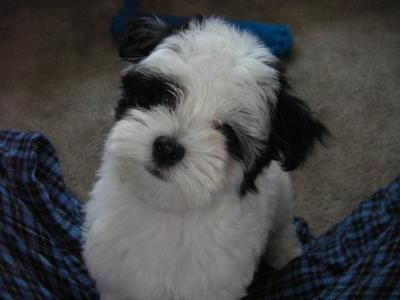 Winston- the cutest puppy ever (at 10 weeks)